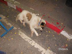 Тайцы и их собаки: гладить запрещено!