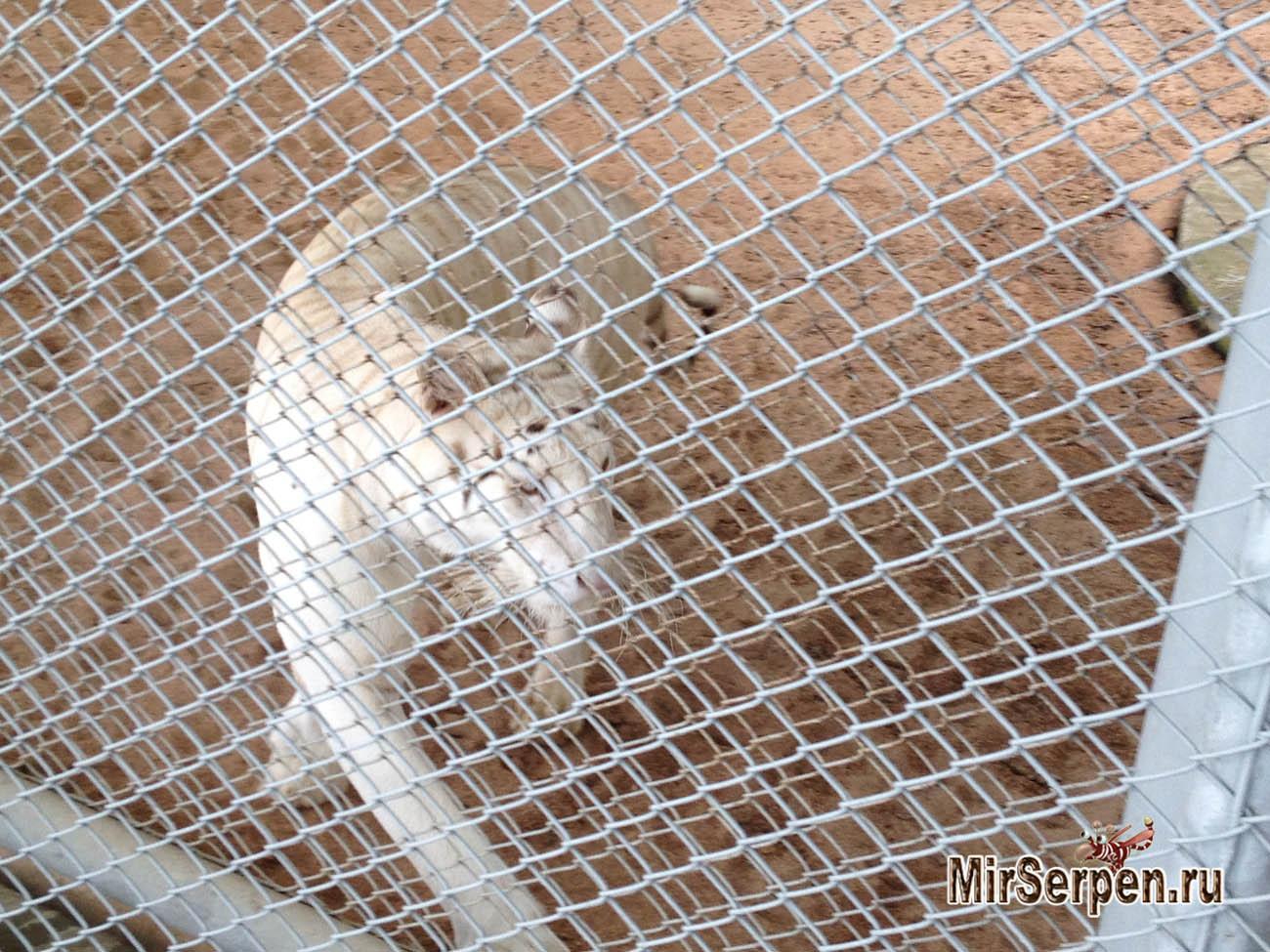 Как в зоопарке на меня прыгнул тигр
