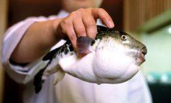 Рыба фугу или ядовитая кулинария Японии