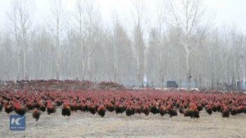 Китайский фермер и его 70 000 курочек