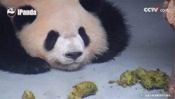 Панды и пандята