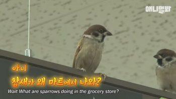Корейский магазин оккупировали наглые воробьи